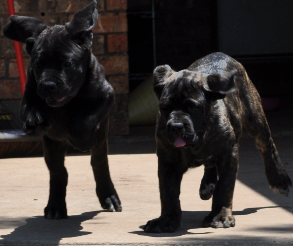 Cane-Corso-Puppies-Playing-Running